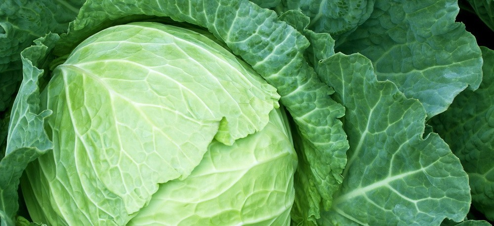 Ulcer cabbage juice treatment