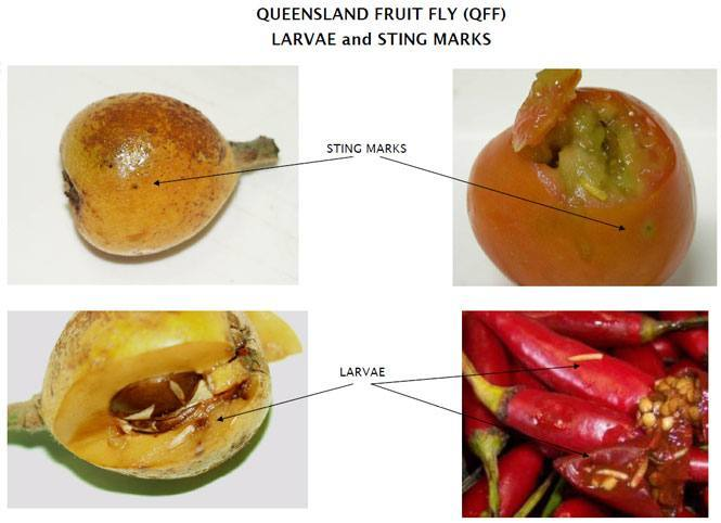 healthy fruit dessert fruit fly traps