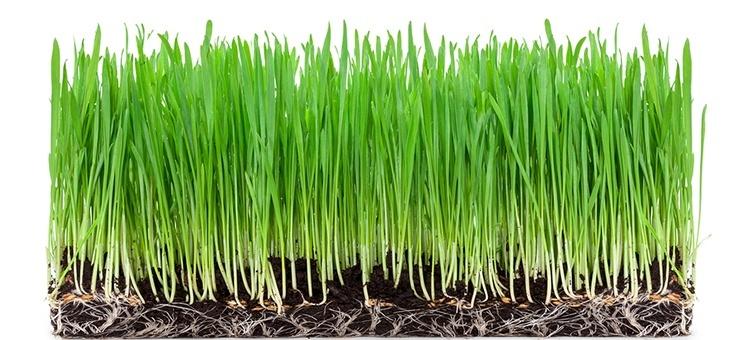 Wheat gradd