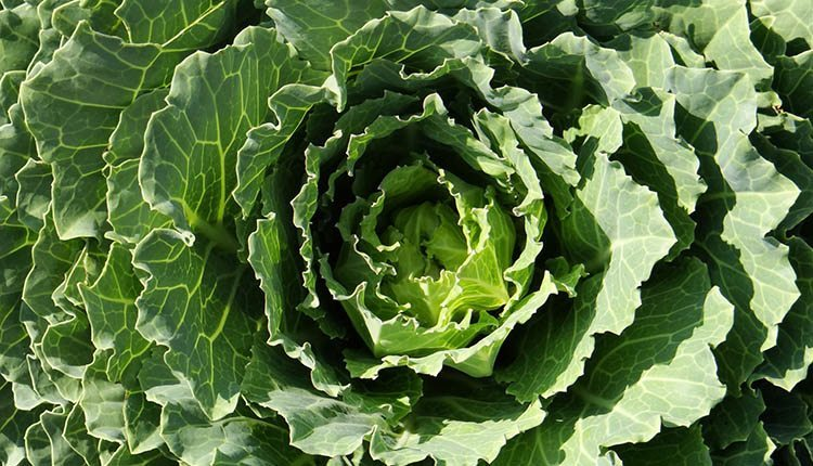 Top 12 Health Amp Nutritional Benefits Of Kale And 3